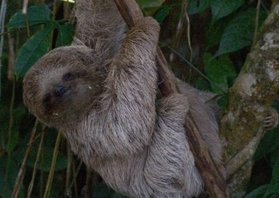 Costa Rica Fauna Sloth