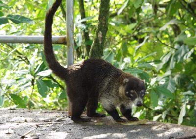 Costa Rica Fauna Pizote