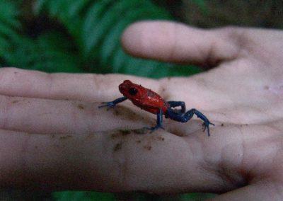 Costa Rica Fauna Frog