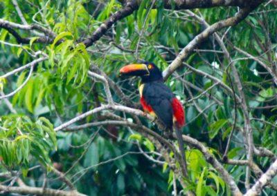 Costa Rica Fauna toucan
