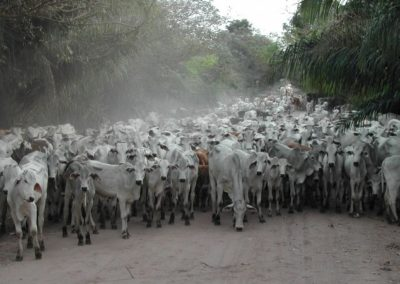Costa Rica Fauna livestock