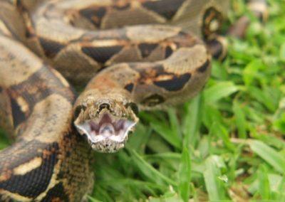 Costa Rica Fauna Boa Snake