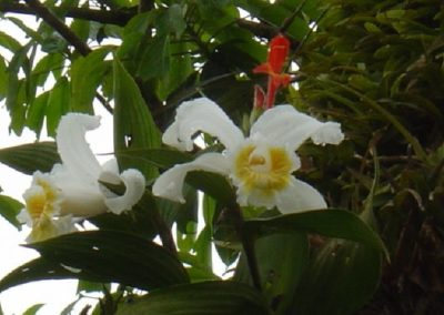 Costa Rica Flora White Flowers